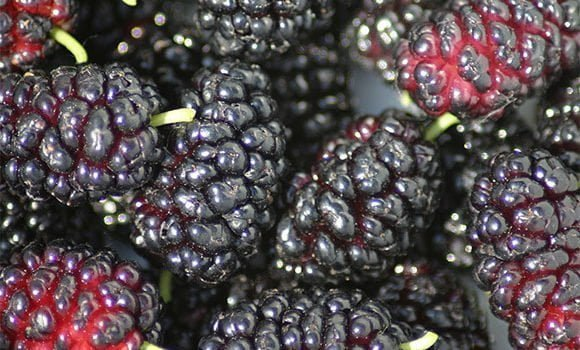 शहतूत के गुण, फायदे एवं नुकसान - Mulberry (Shahtoot) Health Benefits and Side Effects in Hindi